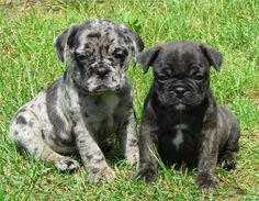 Pug and Boston Terrier Mix= Bugg!! I have never seen coloring like the one on the left!! Beautiful!!!
