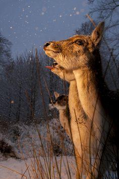 Watching the Sunset Fallow deer, Kent, England, Richard Costin.