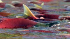 Why we need to talk about salmon, and soon | CFJC Today