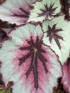 Leaves of Begonia Rex notable for their colorful and interesting foliage.  Full sun to part shade.