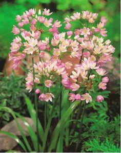 Czosnek różowy - Allium roseum - 20 szt. Planting Tools, Planting Bulbs, Garden Bulbs, Garden Plants, Bulbous Plants, Fertilizer For Plants, Weather And Climate, Fruit Seeds, Bulb Flowers
