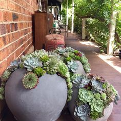 How to Grow Hens and Chicks Succulents <br> Growing hens and chicks (Sempervivum tectorum) plants in your garden is quite simple, especially if you want a lot of Growing Succulents, Succulents In Containers, Cacti And Succulents, Planting Succulents, Watering Succulents, Propagate Succulents, Potted Plants, Container Flowers, Container Plants