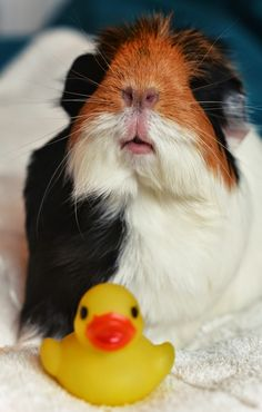 The Guinea Pig Daily: Matilda