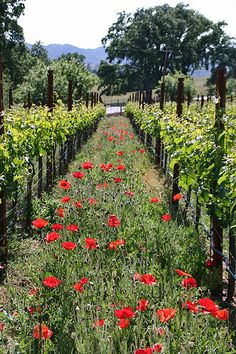 Cabernet vineyard at Justin Winery, Paso Robles