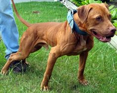 Gr Ch Machobuck, extremely lean and dry dog, champion in the ADBA ring and in the woods. He put Mayday/Buck dog on the map! Animals And Pets, Cute Animals, Pit Dog, American Pitbull, Pitbull Terrier, Bull Terriers, Real Dog, Dog Games, Dog Fighting