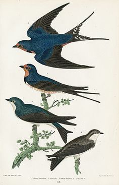 Barn Swallow USD $65 Alexander Wilson Natural History of Birds of the United States 1832
