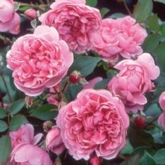 Sister Elizabeth - David Austin; rose pink blooms tinged with lilac, sweet spicy old rose fragrance, double full bloom, hardy, excellent repeat, low neatly rounded shrub with arching branches.  2.5ft x 2.5ft