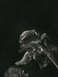 Judith Rothchild. Iris. Mezzotint 3/60. 7 3/4 x 5 3/4 inches. $380