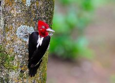 woodpecker - Cerca con Google