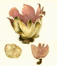 1950 Sarcosphaera coronaria Pezize en couronne par sofrenchvintage