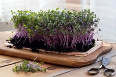 Microgreen Mix Organic Seeds Micro Greens Heirloom Non Gmo Blend Sprouts Container Gardening Cabbage Seeds, Red Cabbage, Broccoli Health Benefits, Broccoli Sprouts, Growing Microgreens, Green Soup, Seed Packaging, Wax Flowers, Organic Seeds