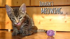 Kitten Jonasek meowing & talking to his humom
