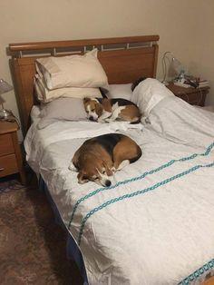 My parents' beagles http://ift.tt/2sRwDas