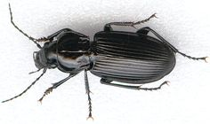 This is a common black ground beetle.  Over 300,000 species of #beetles exist on this planet.