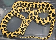 Carpet python complex morphs.