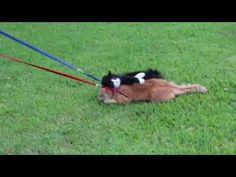 Funny Cat Doesn't Want To Go For A Walk - #funny #cat #walk