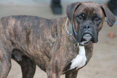 NAME: Pebbles & Bam Bam  ANIMAL ID: 24667349-7357  BREED: boxer  SEX: female-spayed & Male-neutered  EST. AGE: 4 yr  Est Weight: 47-57 lbs  Health: Heartworm pos  Temperament: dog friendly, people friendly.  ADDITIONAL INFO: RESCUE PULL FEE: $49 (each)  Out of time