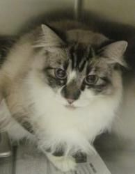 Sooki - Avaliable at Seneca PetSmart is an adoptable Ragdoll Cat in Seneca, SC.  ...