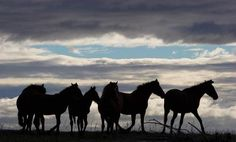 Silhouettes of Wild Mustangs at Early Dusk.