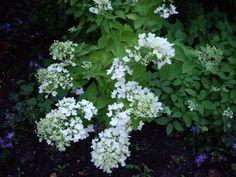 PG Hydrangea paniculata 'Grandiflora' - part shade tolerance