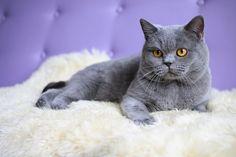Gato Azul Russo - Características e Preço - Quanto Custa Um