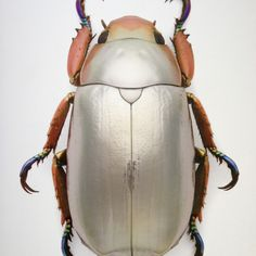 Silver Beetle :: By Christopher Marley ? Silver Beetle :: By Christopher Marley ? Beetle Insect, Beetle Bug, Insect Art, Reptiles, Christopher Marley, Fashion Design Inspiration, Mantis Religiosa, Cool Bugs, Beautiful Bugs