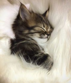 Cute Baby Cats, Cute Little Animals, Cute Cats And Kittens, Cute Funny Animals, Funny Cats, Adorable Kittens, Kittens Cutest Baby, Funny Humor, Sleeping Kitten