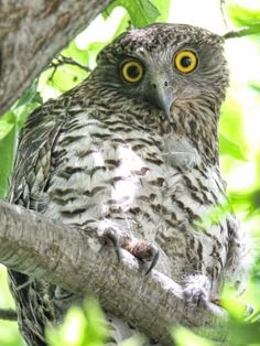 """Good news! The Victorian Government has agreed to set aside 2,000 hectares of forest in East Gippsland to help protect three threatened species of owl. it was a """"fairly significant"""" win for the threatened Sooty, Masked and Powerful Owls. It also means that the department acknowledges that there needs to be more done to protect owls, that they were undersized zones that they had set aside and a lot of them were destroyed in the 2014 bushfires."""