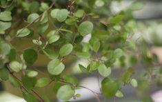Lankaköynnös on riippuvaoksainen, sirokasvuinen viherkasvi. säytetään paljon myös kesäkukka- ja syysistutuksissa. Lankaköynnöksellä on pienet pyöreät lehdet