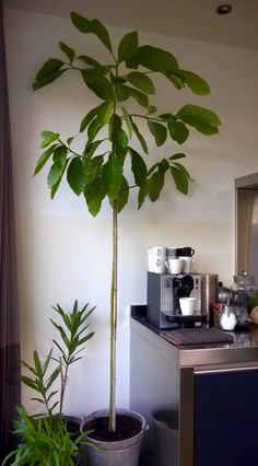 My home grown avocado tree