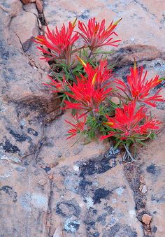 on Rocks Indian Paintbrush! Our candles are created to bring the feeling of Indian Paintbrush to your living room! Our candles are created to bring the feeling of Indian Paintbrush to your living room! Rock Flowers, Flowers Nature, Wild Flowers, Alpine Garden, Alpine Plants, Rock Plants, Garden Plants, Amazing Flowers, Beautiful Flowers