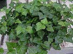 Topiaries Made From English Ivy by Pam Murdock - Modern Design Indoor Garden, Indoor Outdoor, Home And Garden, Outdoor Spaces, Rabbit Resistant Plants, Forever Green, Pothos Plant, Ivy Plants, Plant Guide