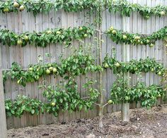 Pear Espalier so wonderful on a fence line or for limited spaces. A great speciman tree.