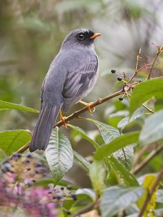 Black-faced Solitaire, highlands of Costa Rica & W Panama