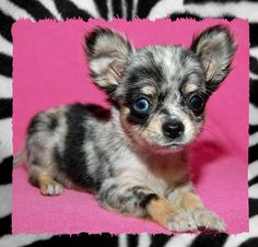 I want this baby chihuahua Cute Chihuahua, Chihuahua Puppies, Chihuahuas, Merle Chihuahua, Teacup Chihuahua, Kittens And Puppies, Cute Dogs And Puppies, I Love Dogs, Doggies
