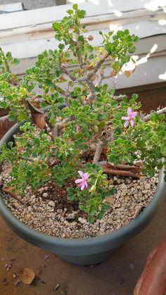 Pelargonium xerophyton Bunny