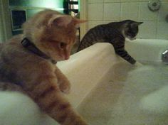Cats don't generally like to take baths, but when they have to they like to make sure the water is a the right temperature first. anim, funny cats, pet, funni, soap bubbles, bubble baths, splish splash, funny kitties, bath time