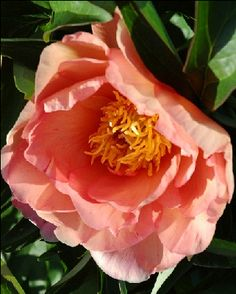 Singing In The Rain - Itoh Hybrid, semi-double Rose-type, blooms appear light orange upon opening, fading to yellow, lightly fragrant, first bloomed 2000, (Donald Smith, USA, 2002). www.peonyshop.com