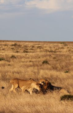 Lions, South Africa, Albertinia.