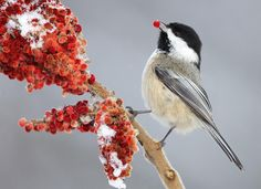 """Black-capped Chickadee (Poecile atricapillus). Easily recognized by it's """"chick-a-dee-dee-dee"""" call."""