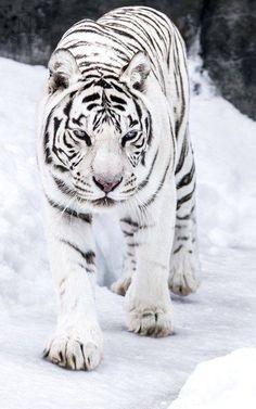 Großartig Bestes White Tiger-Foto Großartig Bestes White Tiger-FotoYou can find White tigers and more on our website. Animals And Pets, Baby Animals, Cute Animals, Wild Animals, Tiger Pictures, Animal Pictures, Beautiful Cats, Animals Beautiful, Beautiful Creatures