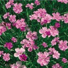 Dianthus plumarius Dinetta Pink SULKANEILIKKA