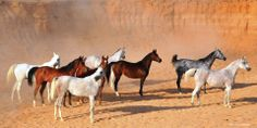 A collection of beautiful Desert bred mares from the King Abdul Aziz Arabian Horse Center, Dirab, Kingdom of Saudi Arabia. Photo by G.A. Rhodes.