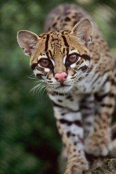 Ocelot (Leopardus pardalis) (photo by Terry Whittaker)