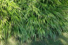 Hakonechloa macra, siergras ,30 hoog, overhangend groen blad, niet wintergroen. Heeft aug-sept fijne aren. Kan op alle grondsoorten.