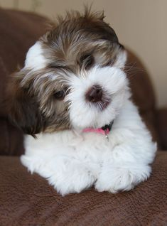 HAVANESE PUPPIES FOR SALE | CONTACT US #cutepuppies