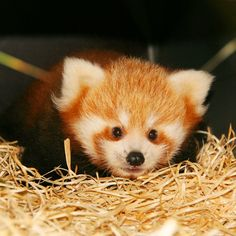 Planckendael welcomes its first ever Red Panda birth!