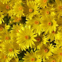 delosperma nubigenum yellow ice plant zone 3 9 full sun yellow ice plant flowering plants. Black Bedroom Furniture Sets. Home Design Ideas