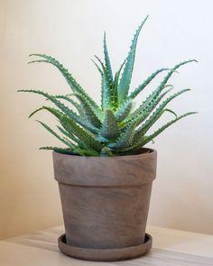 Aloes drzewiasty - bardzo łatwa w obsłudze roślina o terapeutycznych właściwościach. Planter Pots, Products, Gadget