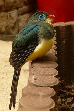 Apalharpactes reinwardtii - Blauschwanztrogon - Blue-tailed trogon | Flickr - Photo Sharing!